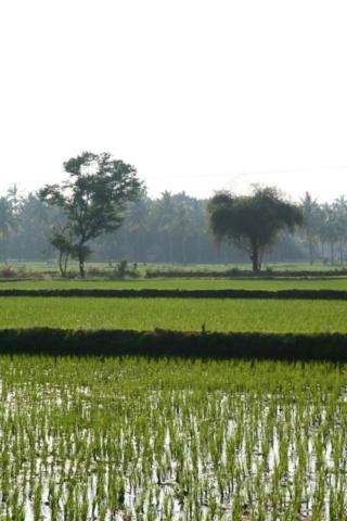 Rýžové pole na ostrově
